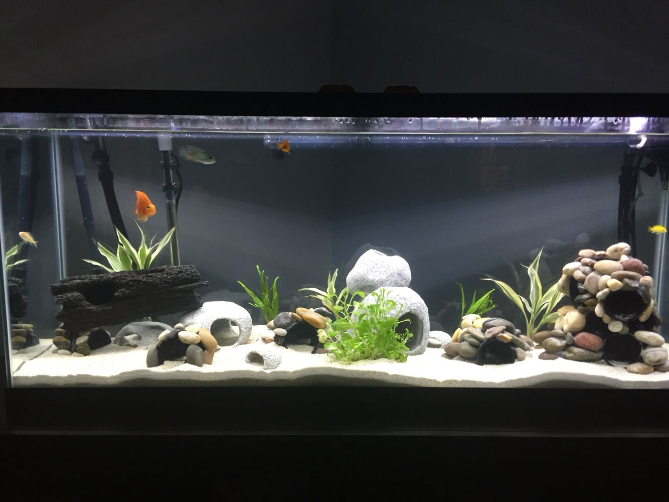 55 gallon cichlid tank parrot fish 3 peacock fish and a for Fish tank stones