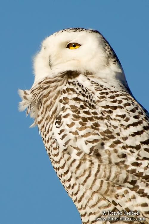 Snowy Owl (Bubo scandiacus) Location: Smithville Lake, Clay County, Missouri, United States © David Seibel www.birdsinfocus.com
