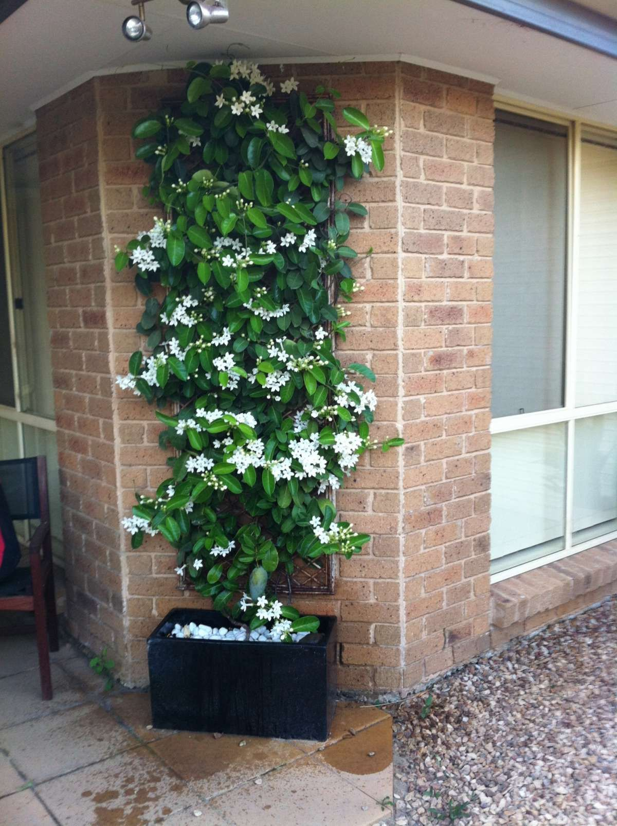 Jasmine Terrace: Stephanotis Floribunda, Madagascar Jasmine Used As A
