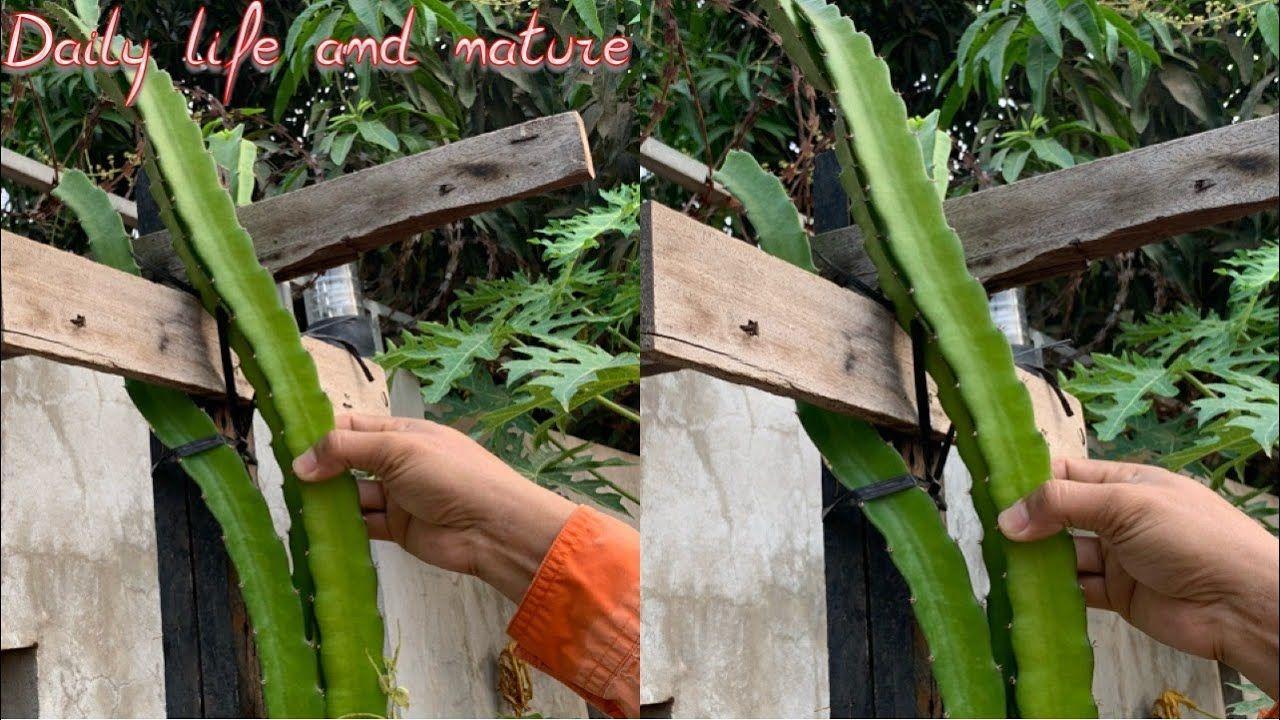 How To Build Dragon Fruit Trellis || How To Make Dragon ...