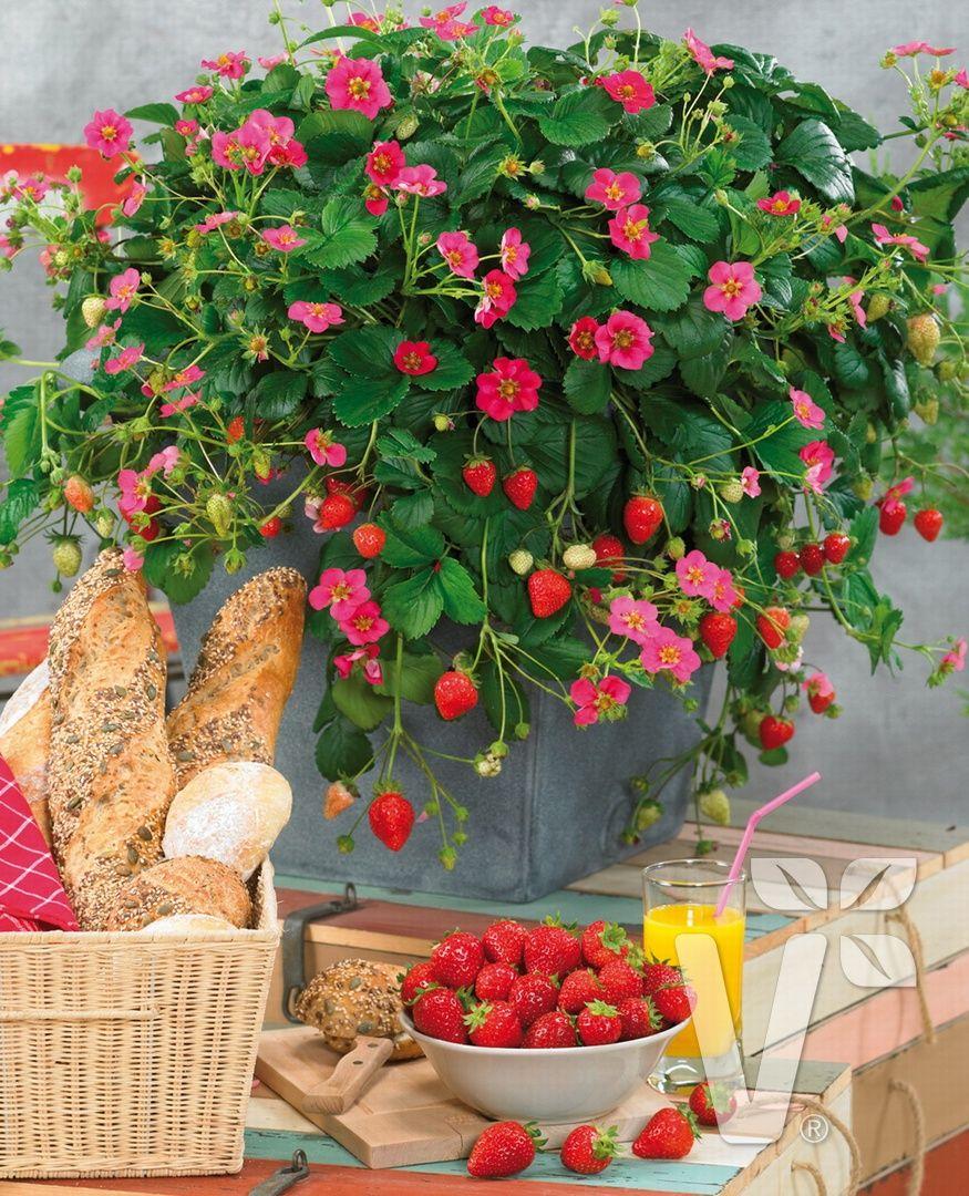 immertragende erdbeeren 39 toscana 39 garten garten pflanzen und erdbeeren garten. Black Bedroom Furniture Sets. Home Design Ideas