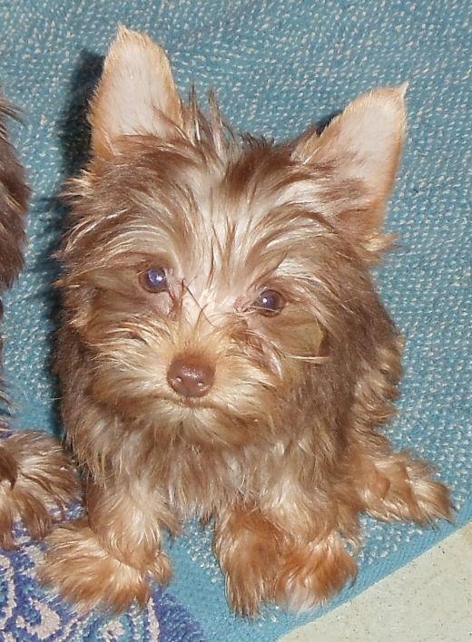 Chocolateyorkiepuppies Com Yorkie Puppy Yorkie Cute Dogs