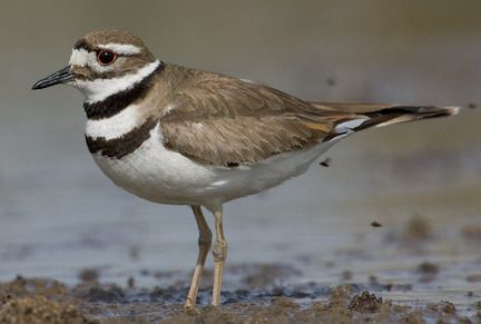 Side view of killdeer