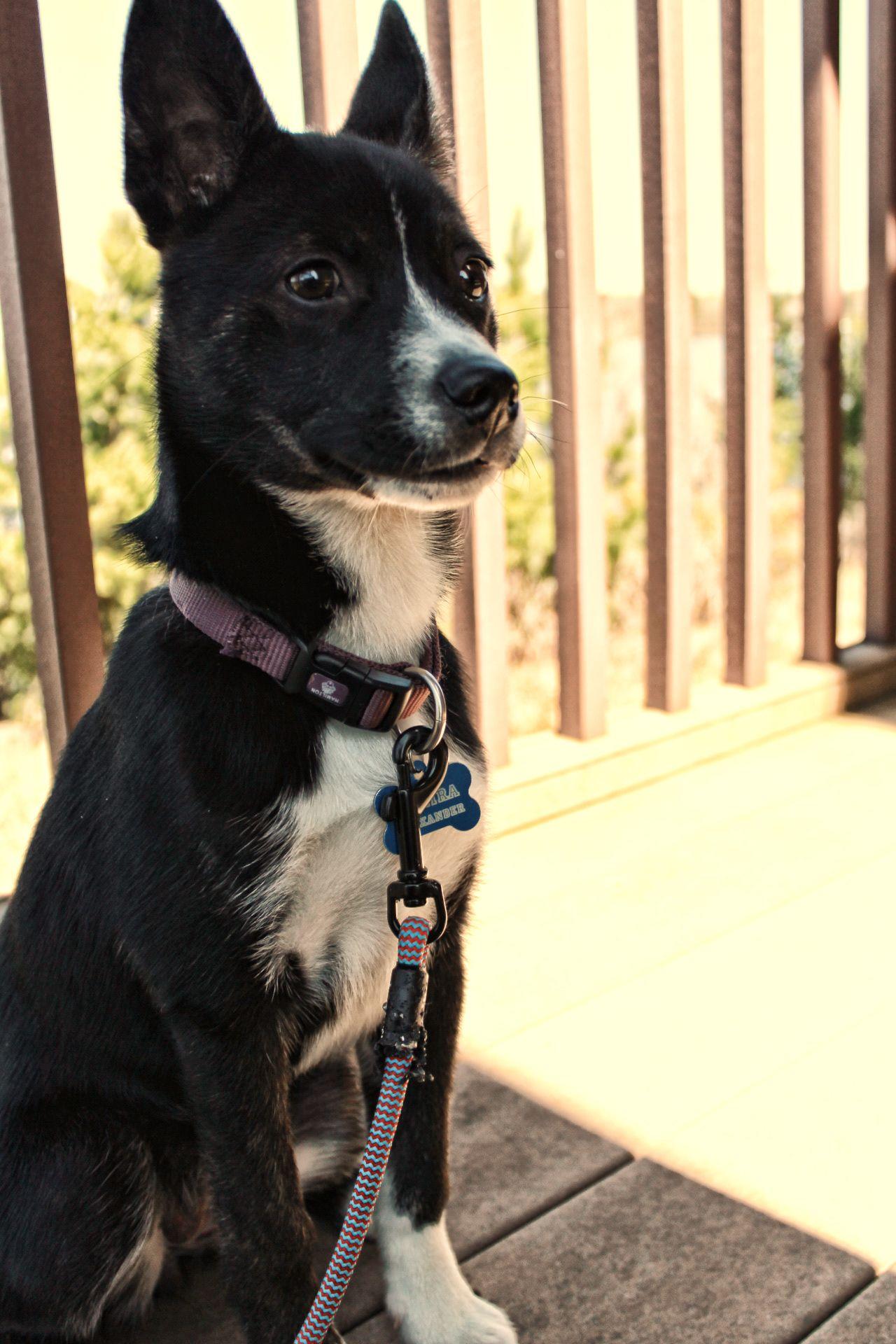 Mira The Bosky Boston Terrier Husky Mix Breeds