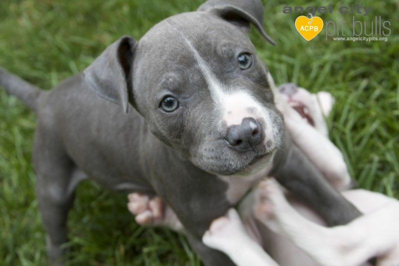 Foster Friday Photo Blog Baby Blue And Baby Rose Pitbull