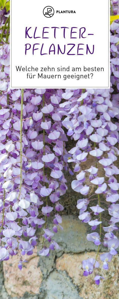 Kletterpflanzen: Die 10 Besten für Zäune & Mauern #sichtschutzterasse