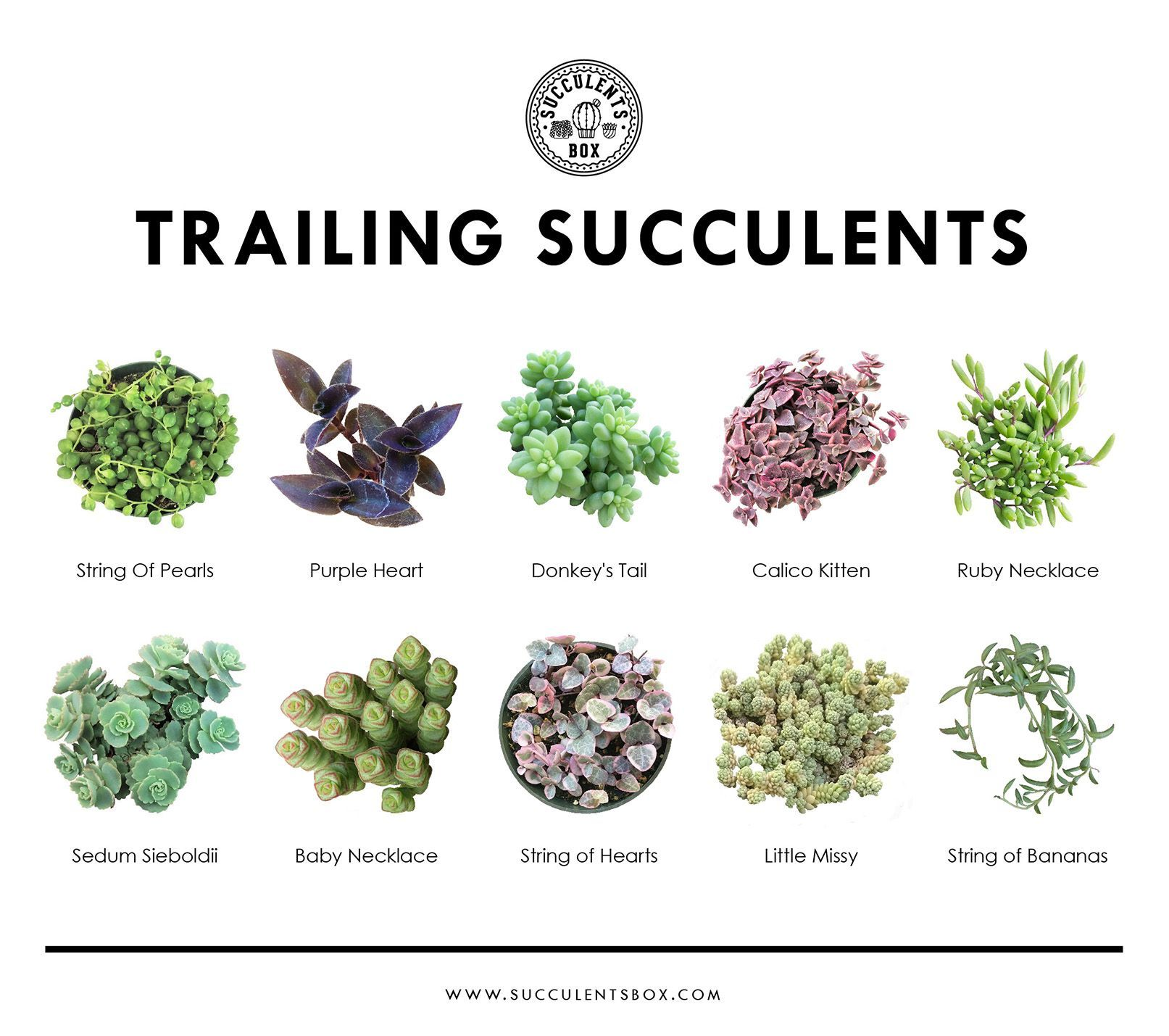 Trailing Succulents Have A Cascading Growth Habit It Is Best To Grow Them In Hanging Baskets To Show Off Their Draping Na Hanging Succulents Succulents Plants