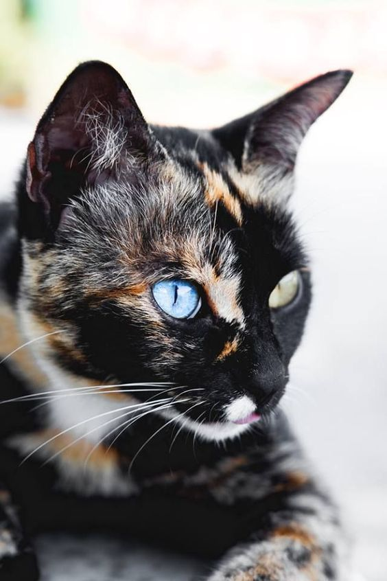 Cat Facts: Fun Trivia About Tortoiseshell Cats With 'Torti-tude' - CatTime
