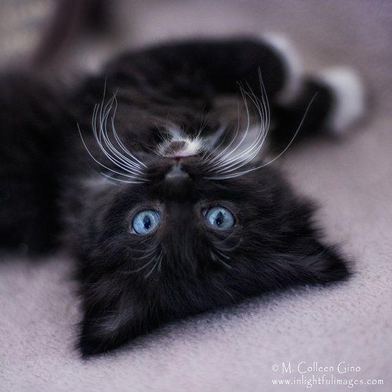 Long Haired Black And White Tuxedo Kitten With By Inlightfulimages 14 00 Black And White Kittens Tuxedo Kitten Kittens Cutest