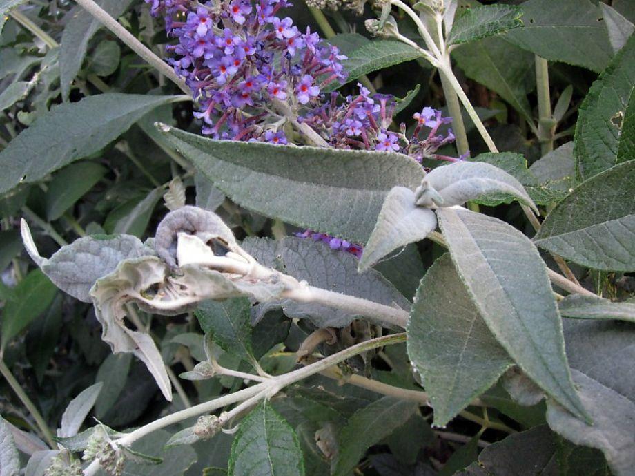 Plan Pruning To Beat The Buddleia Budworm Pollinator Garden Butterfly Bush Pollination