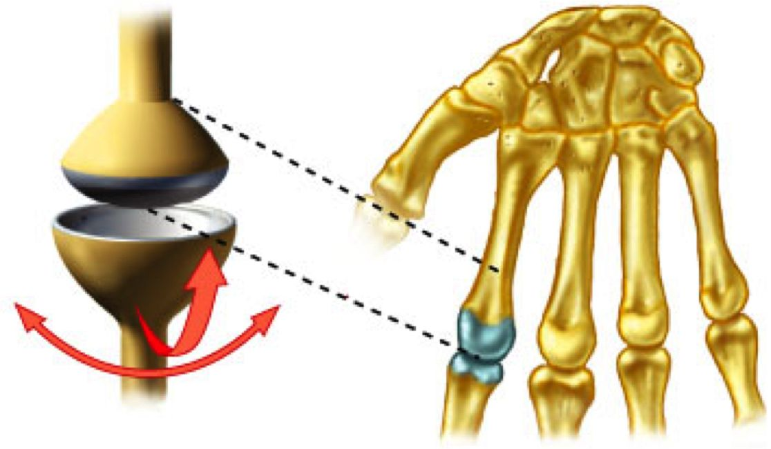 condyloid joint (knuckle joint) : one type of synovial joint, Sphenoid