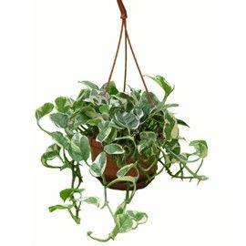 Liane tropicale grimpante ou retombante feuillage tr s for Plante interieur en ligne