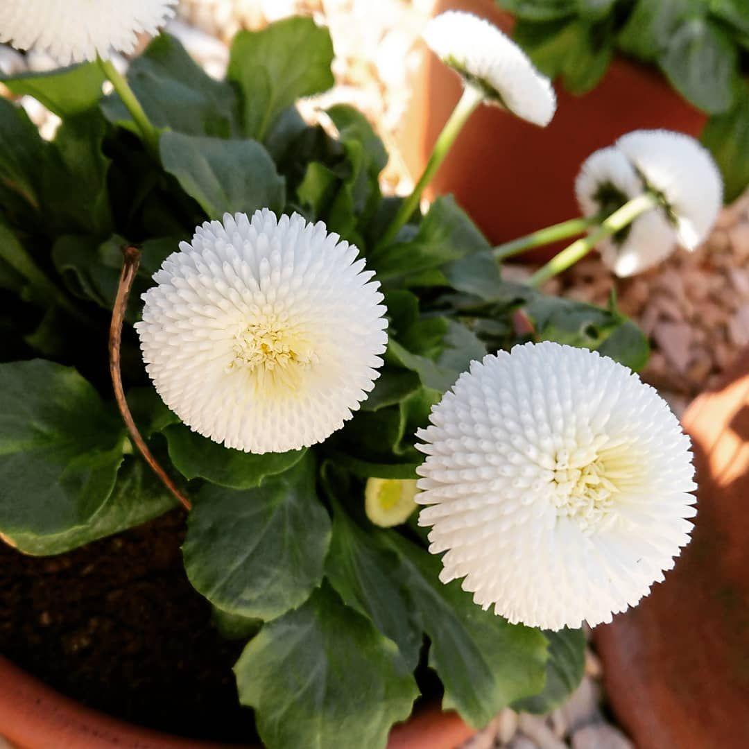 Aquerette Double Paquerette Fleurdouble Bellis Perennial