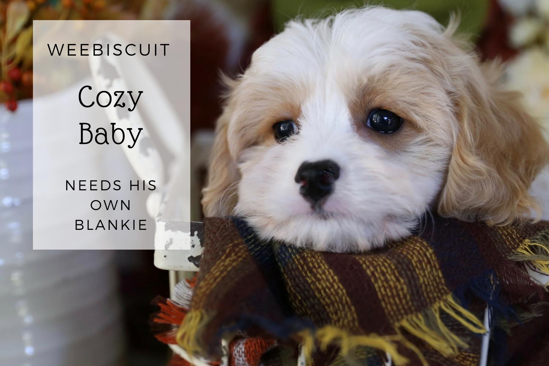 Adorable Cavachon puppy for sale Cavachon puppies