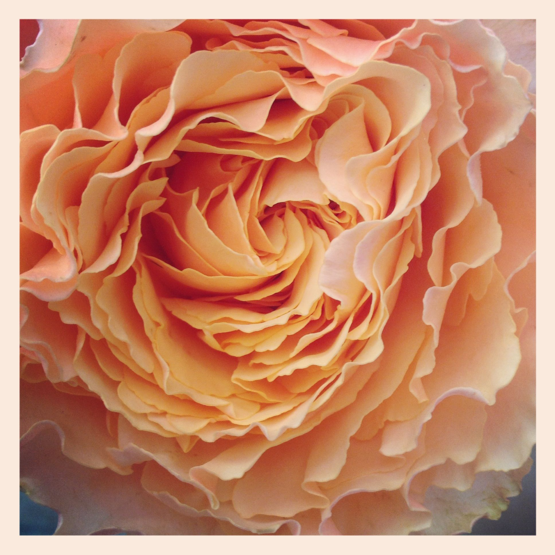Free spirit rose (With images) Peach flowers, Free