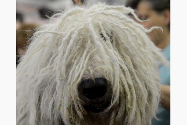 Komondorok http://www.thestar.com/photos/2013/02/12/137th_westminster_kennel_club_dog_show.html#