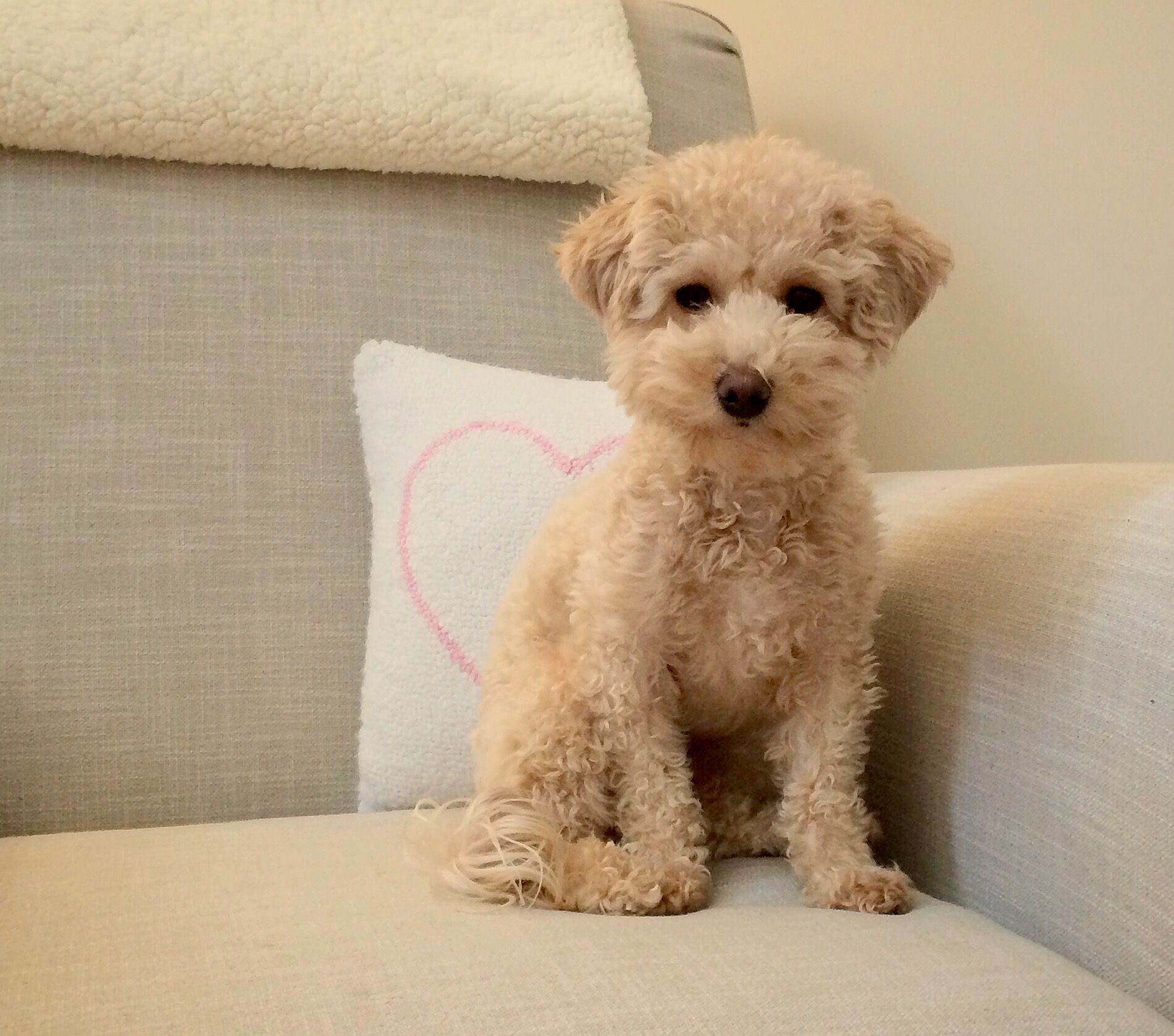 adult dogs mix poodle