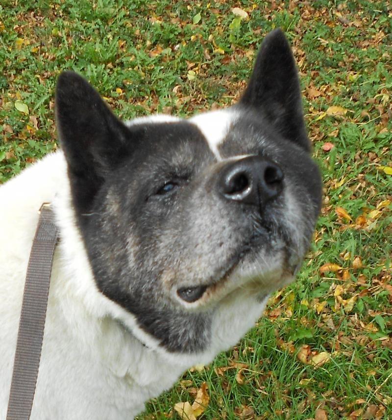 Meet Papou, a Petfinder adoptable Akita Dog Indianapolis