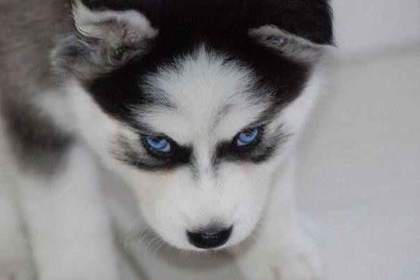 Husky Puppy Balu From Venezuela Dog Husky Pup Husky Puppy