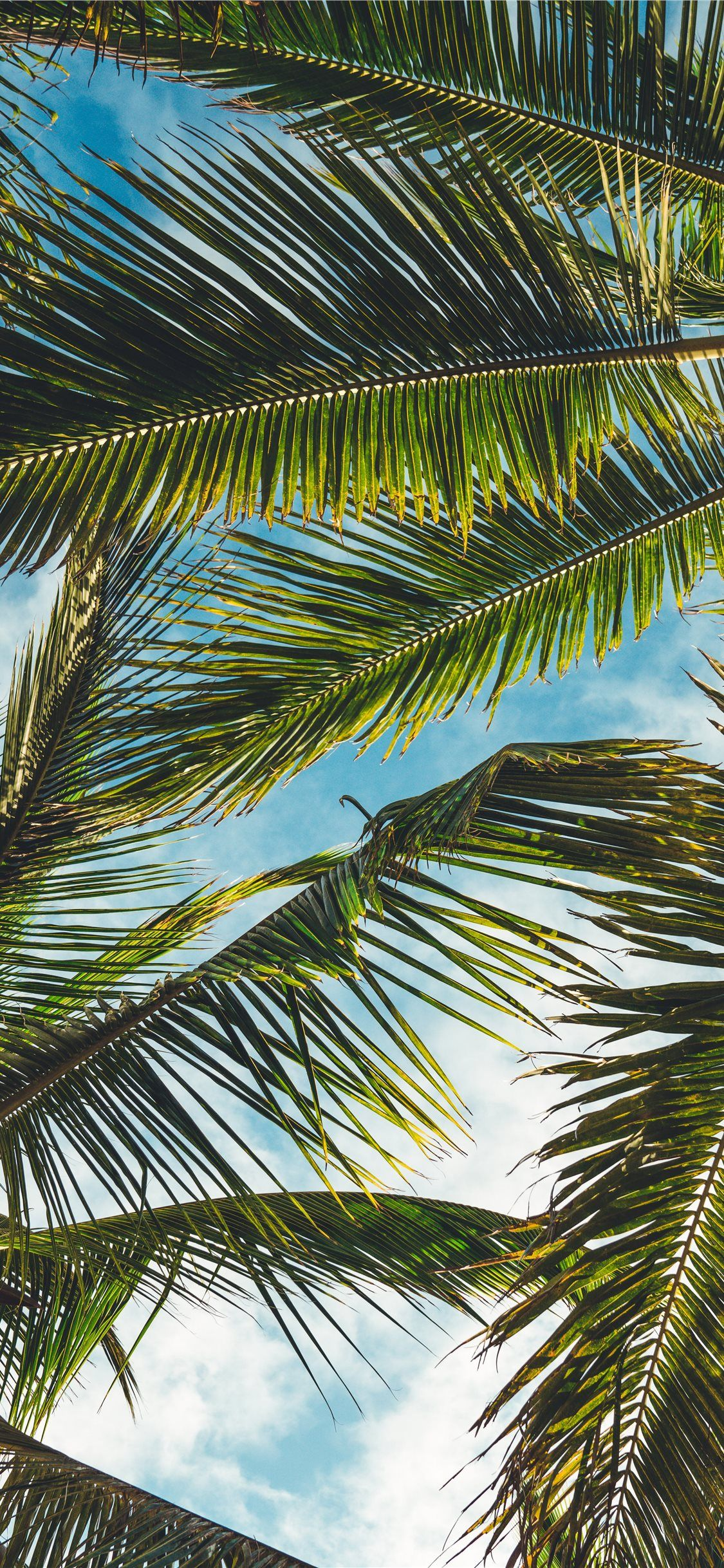 Coconut Tree Leaves Under Blue Sky During Daytime Tree Palmtree Tropical Leaf Nature Iphonex In 2020 Palm Trees Wallpaper Palm Tree Pictures Palm Tree Silhouette