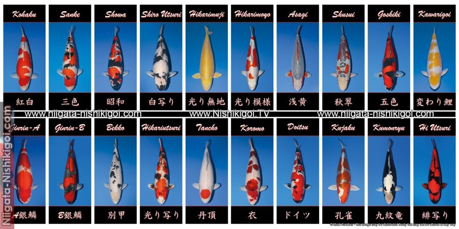 Koi varieties banner free for koi clubs niigata for Koi variety chart