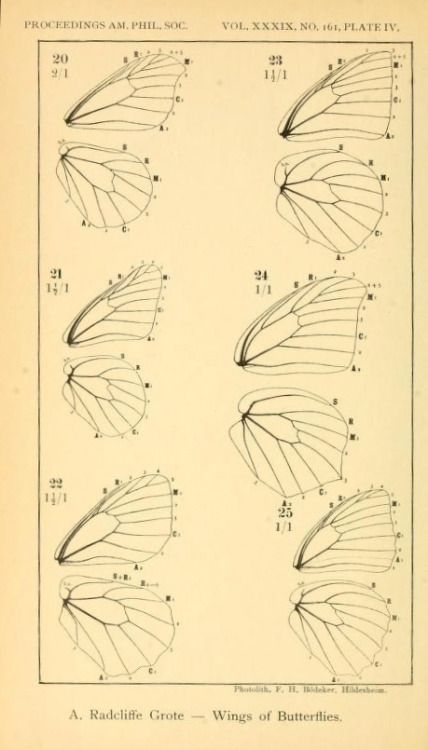 Plate IV. Butterfly wings. Proceedings of the American Philosophical ...