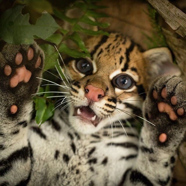 National Geographic On Instagram Photo By Trevor Frost Tbfrost Meet Keanu A One Year Old Male Ocelot Destined For The Illegal Animals Cute Animals Ocelot