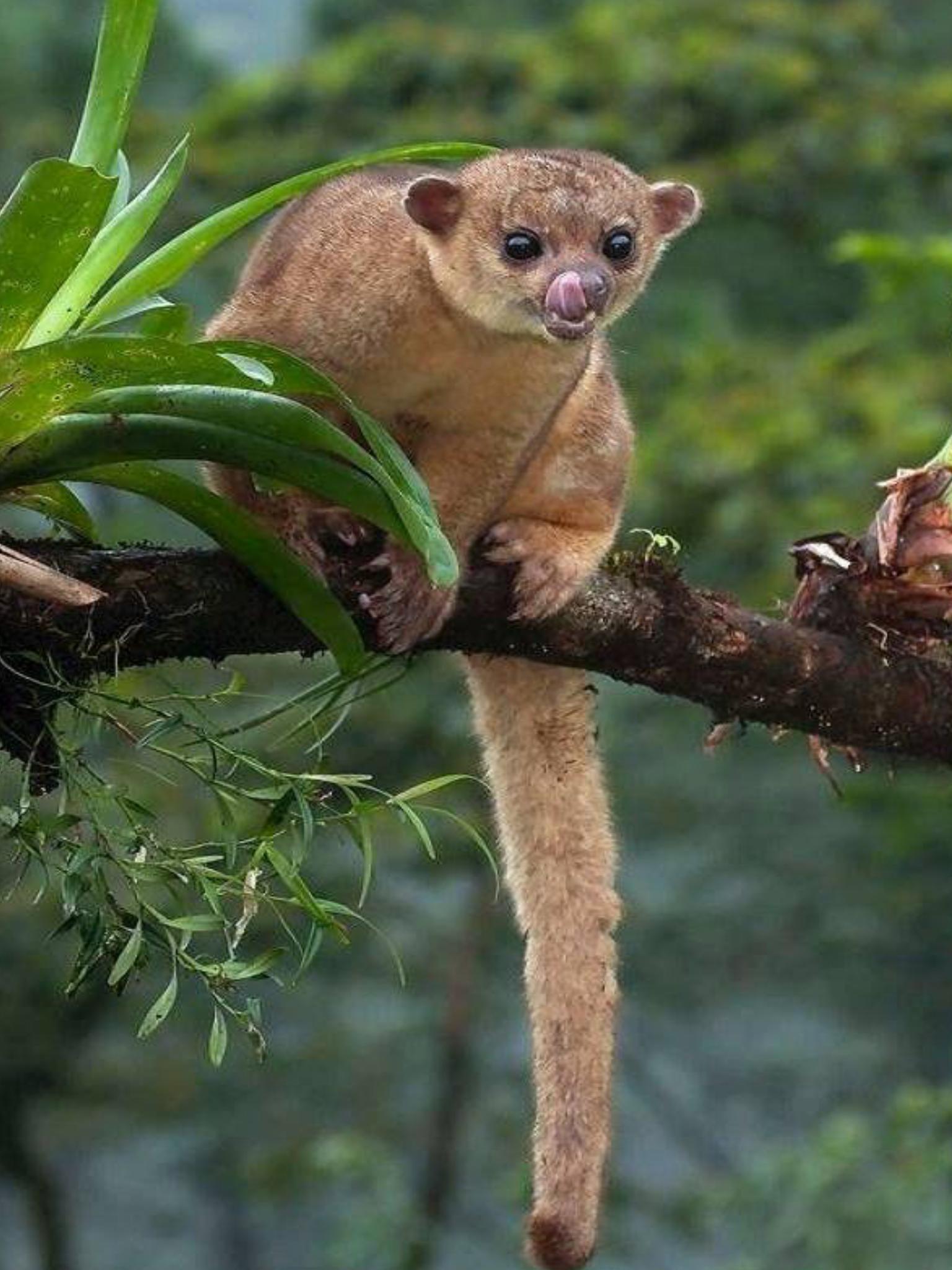 The Kinkajou Also Known As The Honey Bear (A Name