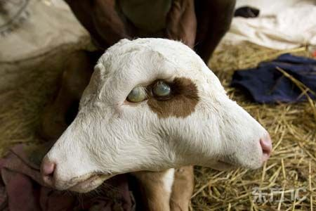 Two Headed Goat Chernobyl Disaster Chernobyl Pinterest