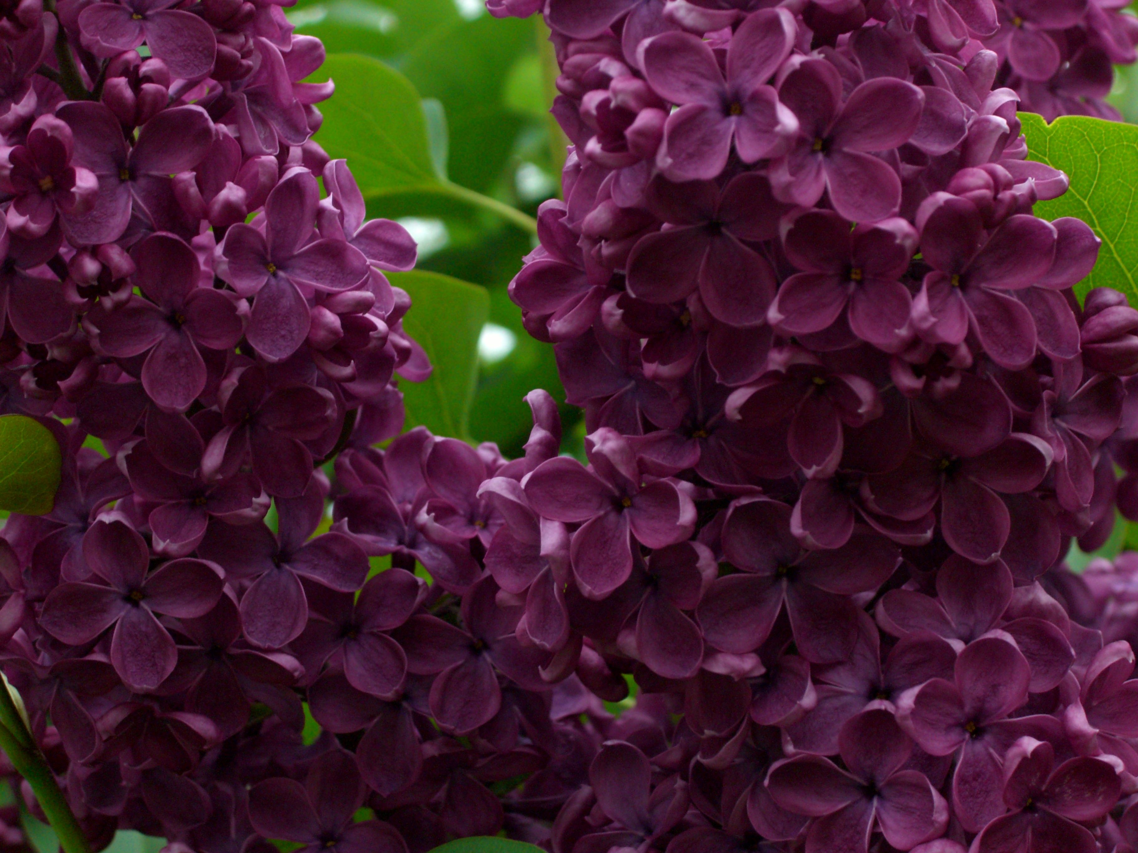 Rochester Is Called Flower City Bc Of It S Beautiful Lilac Trees Lilac Tree Trees To Plant Flowering Trees