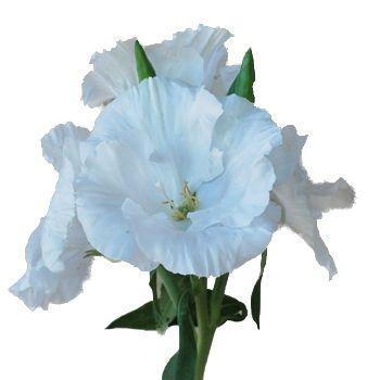 White Godetia Satinflowers