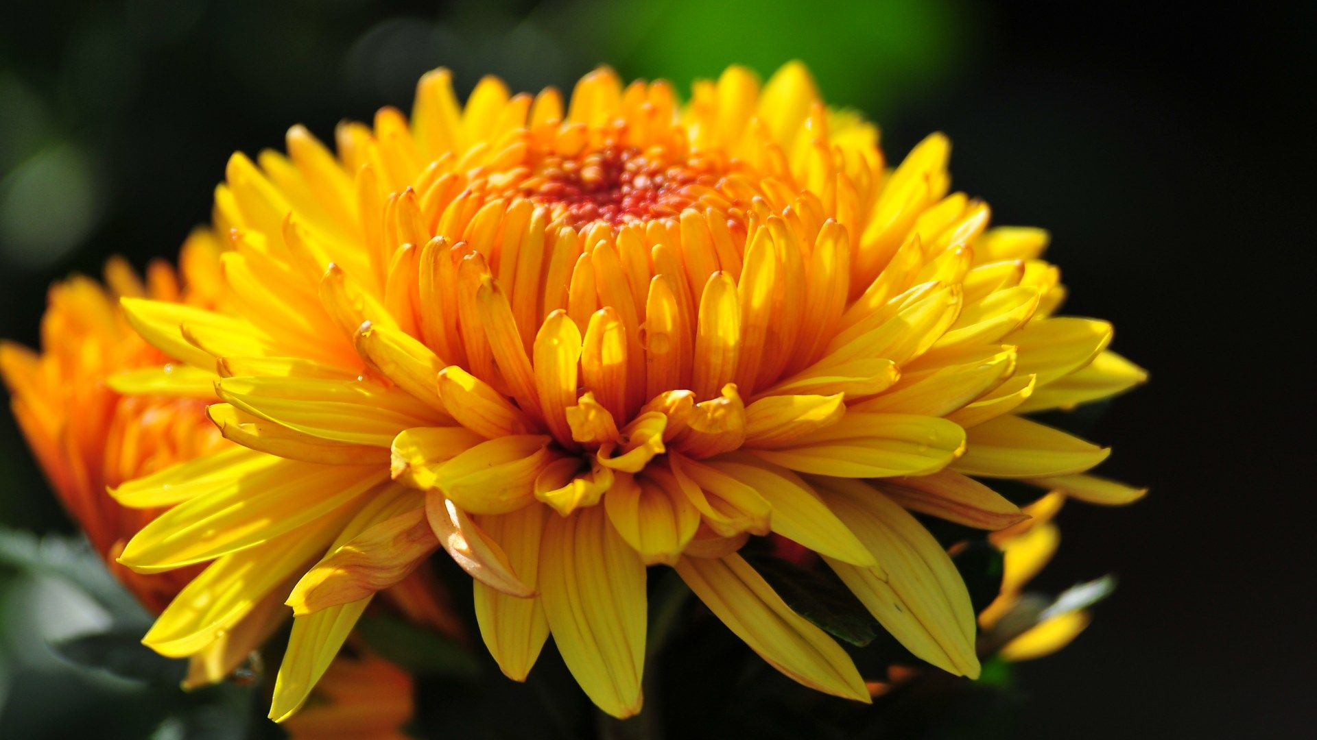 Yellow chrysanthemum , HD Flower Photography (1920 1600 ) 4 ...