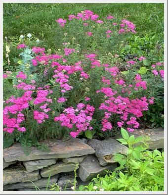 Achillea Flower Burst Red Shades Garden Flowers Perennials Deer Resistant Plants Flowers Perennials