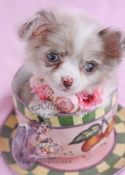 Long Haired Chihuahua Puppy For Sale Teacup Puppies Chihuahua