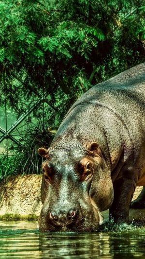 Download Wallpaper 1080x1920 Hippopotamus Beach Water Gray Huge Sony Xperia Z1 Zl Z Samsung Galaxy S4 Htc One Hd Back Animal Photo Animals Hippopotamus