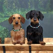1 Red 1 Black And Tan Adults Wire Haired Dachshund Dachshund