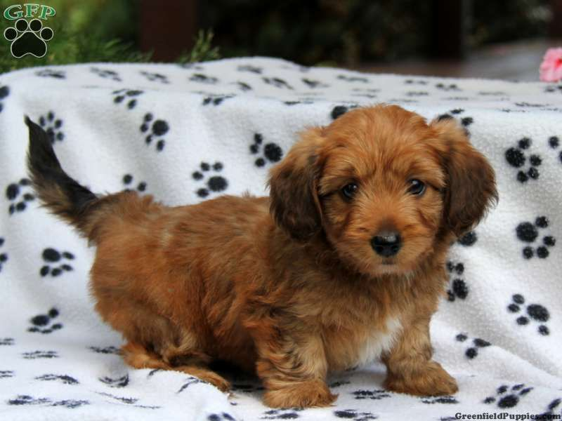 Gizmo Dorkie Puppy For Sale In Pennsylvania Puppies Puppies