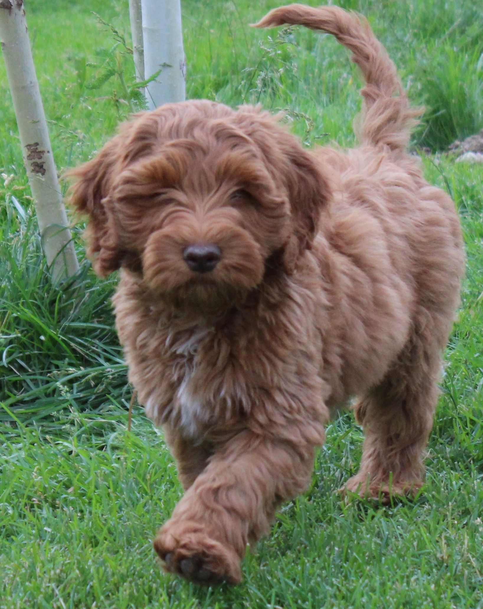 Airedale Puppies For Sale Melbourne References