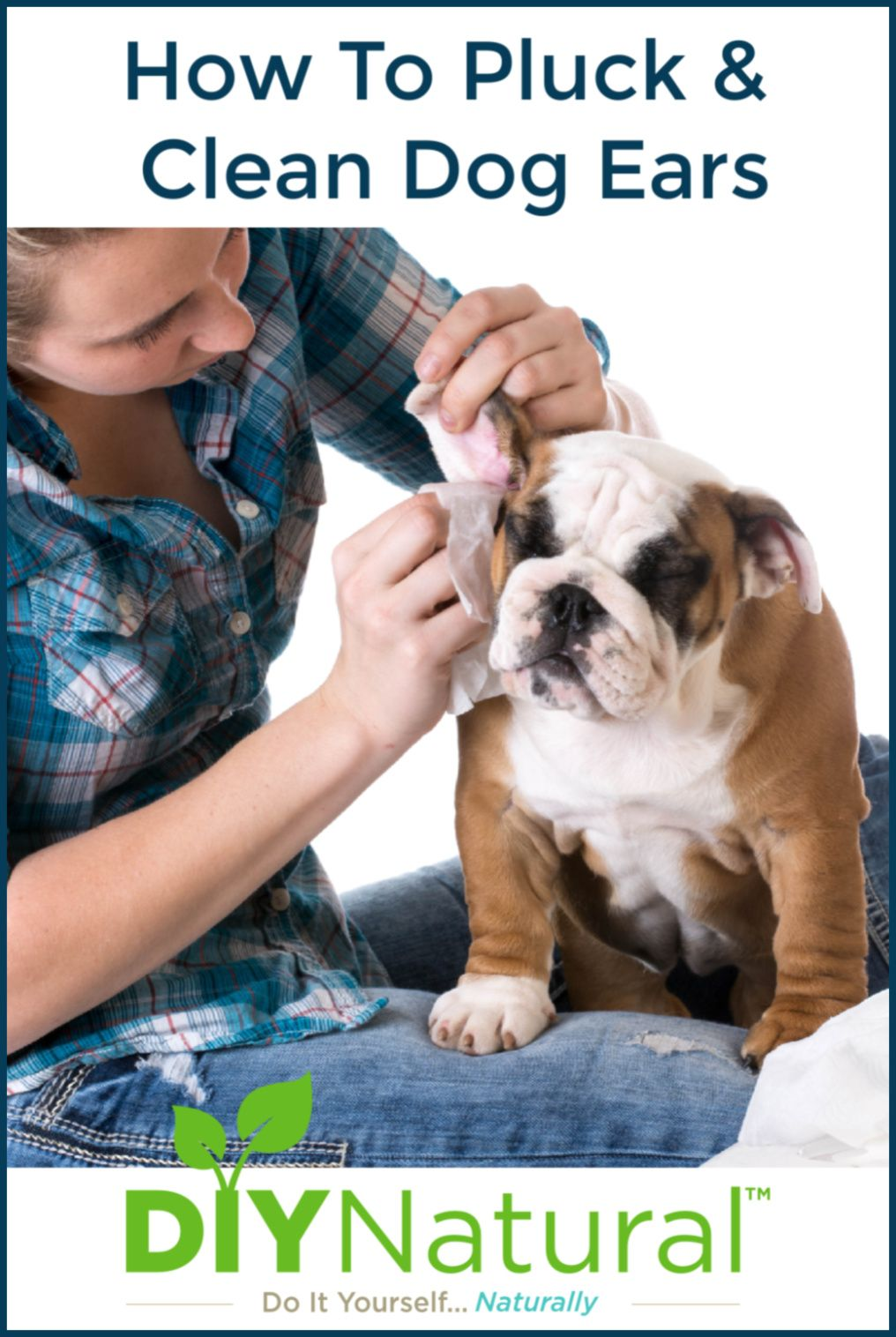 How to clean dog ears removing the hair and cleaning them