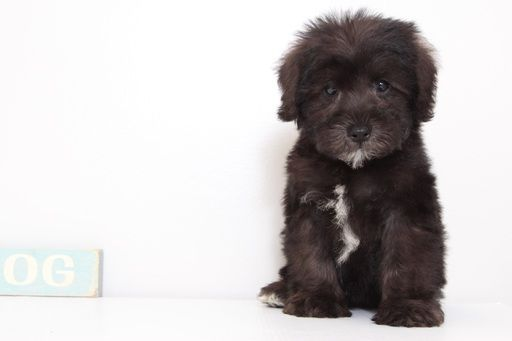 Schnoodle Miniature Puppy For Sale In Naples Fl Adn 47994 On Puppyfinder Com Gender Male Age 9 Weeks Old Miniature Puppies Schnoodle Puppies