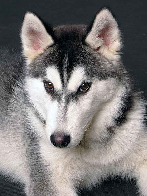 Siberian Husky Names For Unique Male Female Huskies Siberian