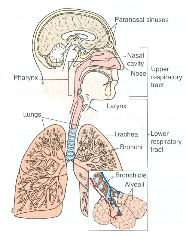 Diagram Of The Respiratory System Physical Body Pinterest