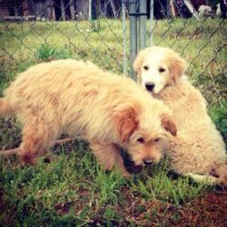 Adopt Nj Curly On Dogs Golden Retriever Golden Retriever Poodle Mix Poodle Mix Dogs