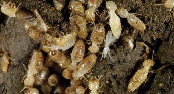 How To Get Rid Of Termites Fast And Naturally Garden Ideas Termite Control Drywood Termites Getting Rid Of Bees