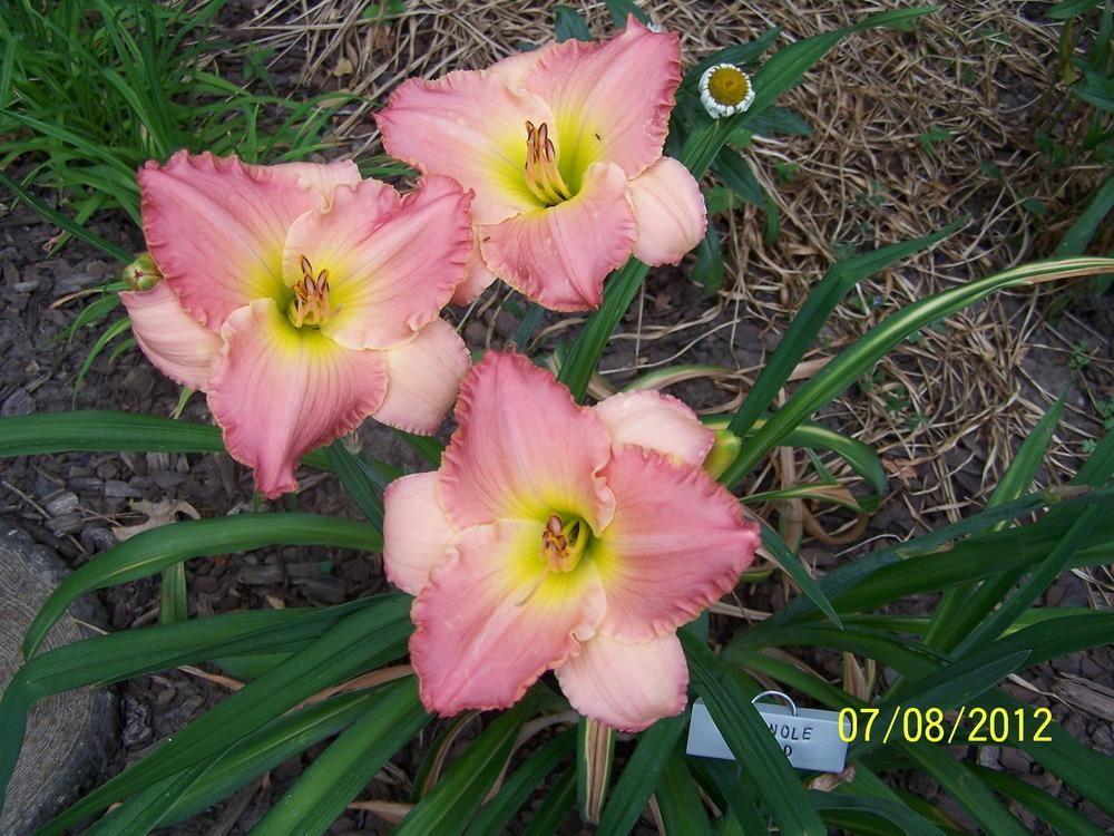 Photo of daylily hemerocallis seminole wind uploaded