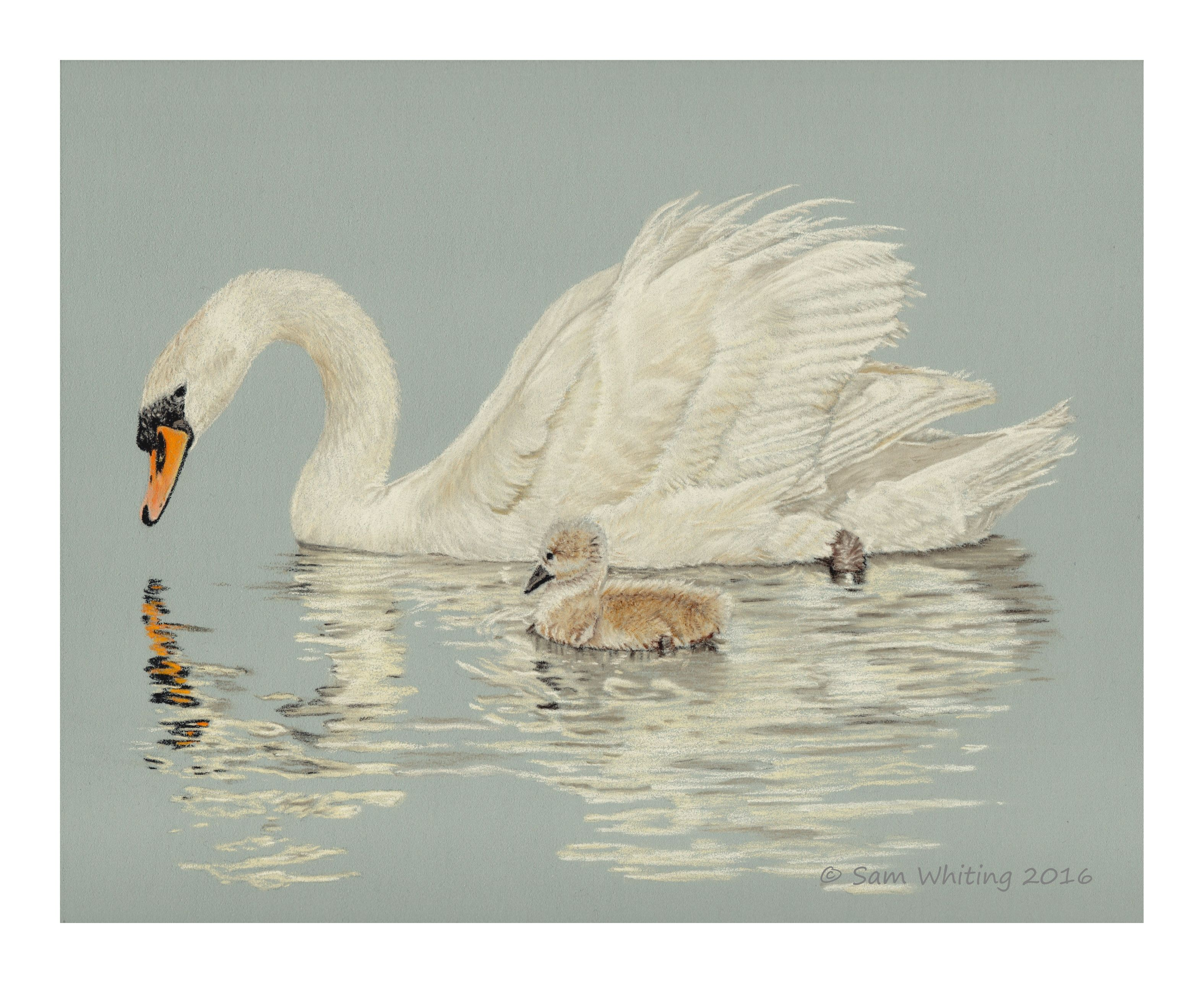 Reflections  Swan And Cygnet Pastel Study