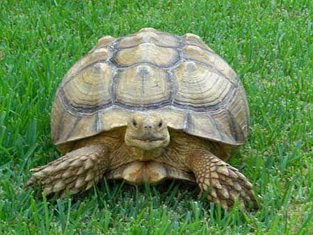 Desert Turtles As Pets