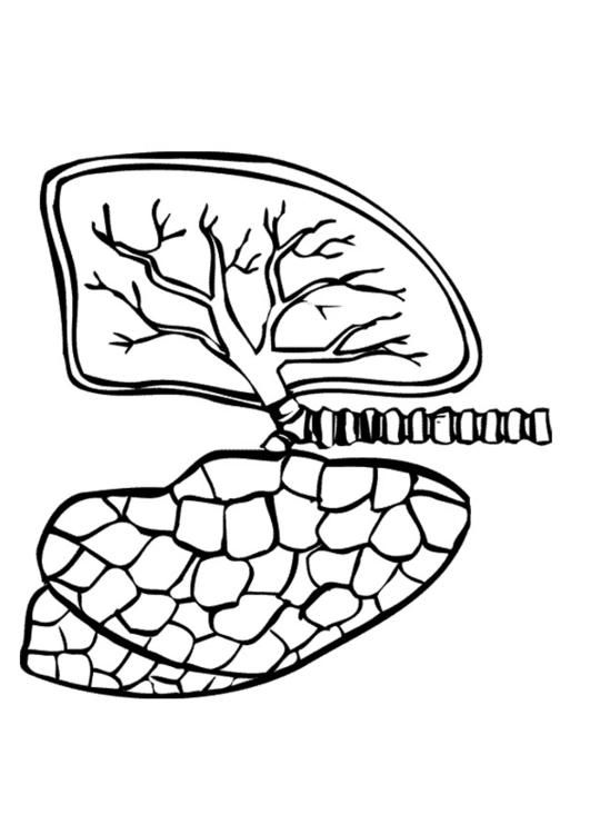 Coloring Page Lungs Img 9488 Coloring Pages Lunges Color