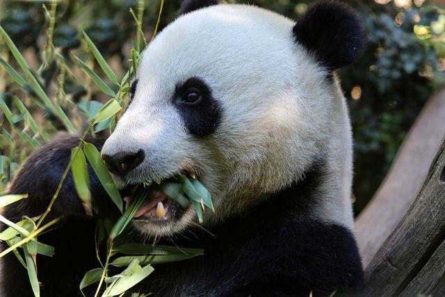 Yun Zi is a bamboo eating machine.