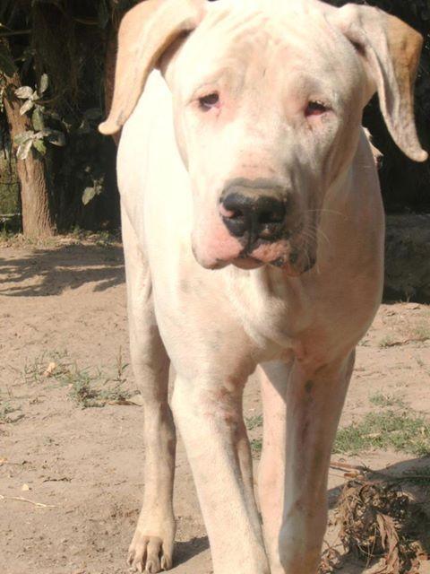 Bully Kutta Or Pakistani Sindhi Alangu Mastiff Large Dog Breeds Dogs Dog Breeds